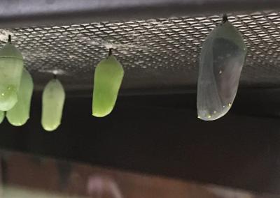 IO monarchs chrysalises