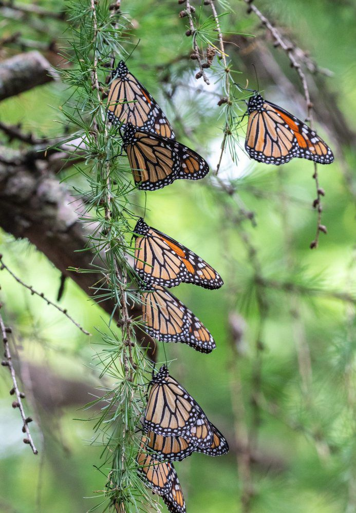 EA monarch butterflies1