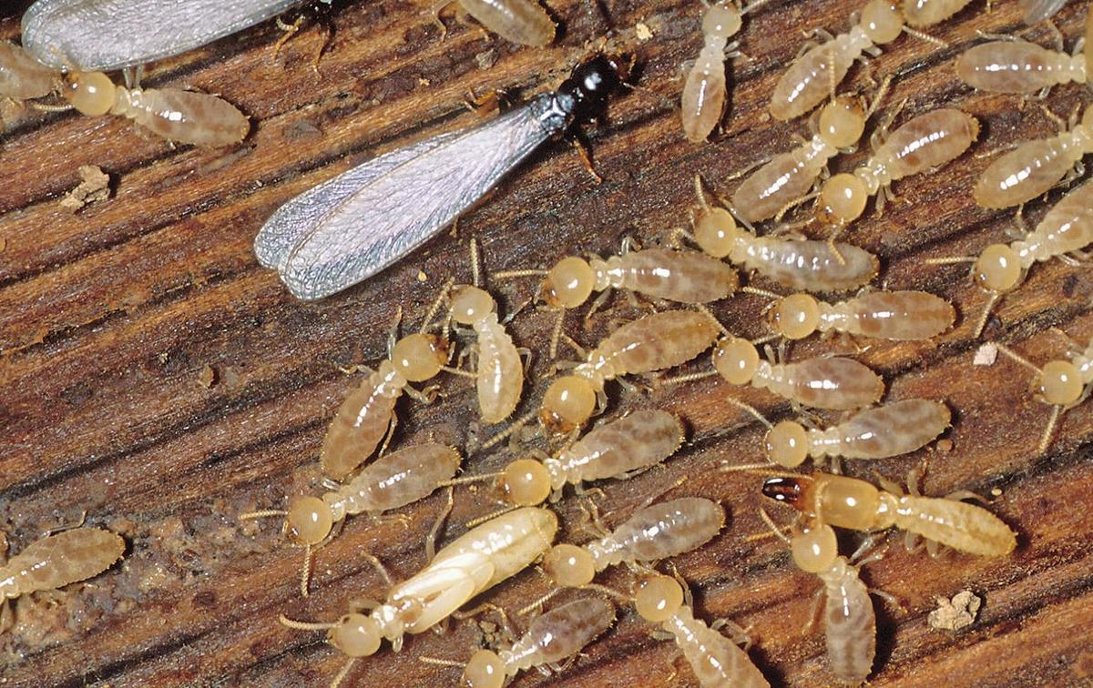 Image result for preventing termites images
