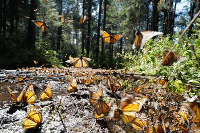 Climate change playing havoc with monarch butterfly migration