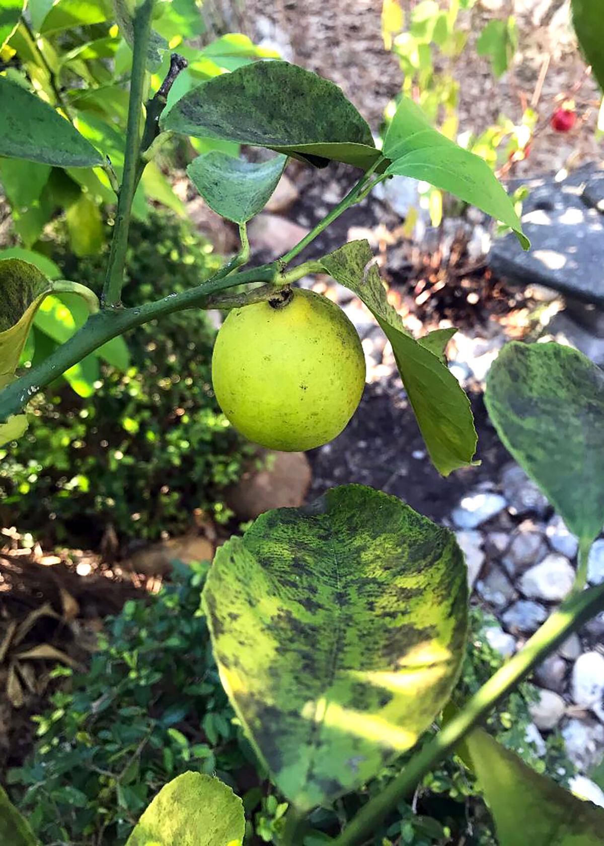 Sooty mold on Meyer lemon