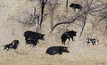 Feral hogs in Texas