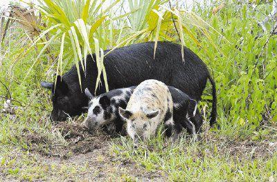 Cass County plans crackdown on hogs