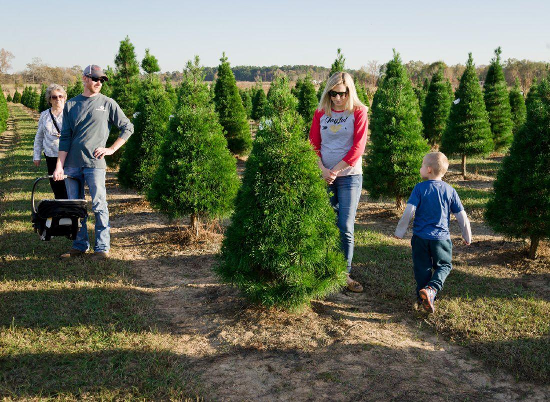 Christmas Tree Shortage.No Christmas Tree Shortage For East Texas Growers Say