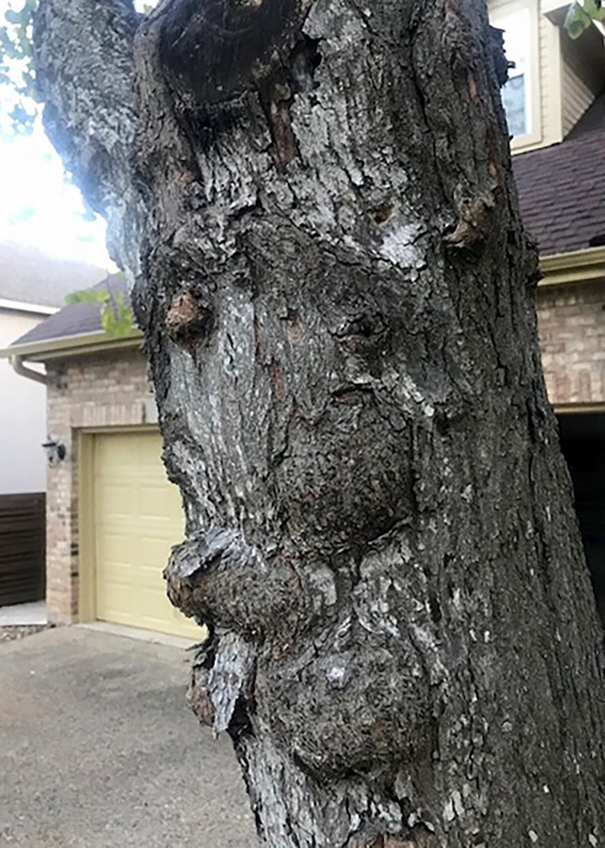 Burl on tree trunk