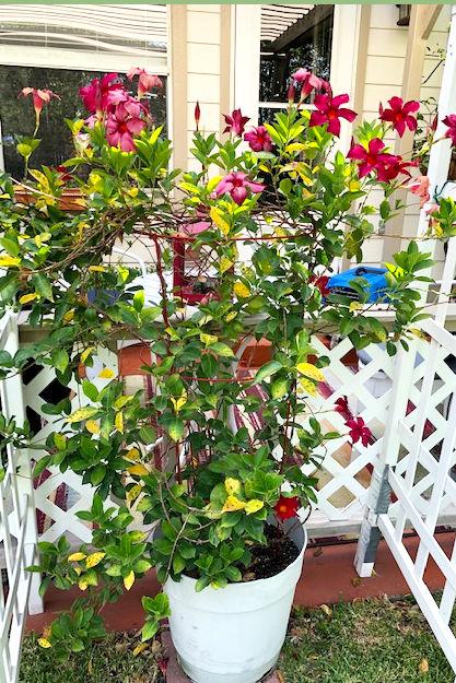 8.19.19 Mandevilla with leaf spot entire plant.jpg