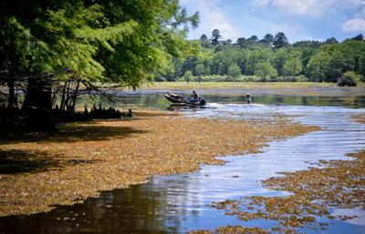 Officials: Bio-control efforts making progress against salvinia at Caddo Lake