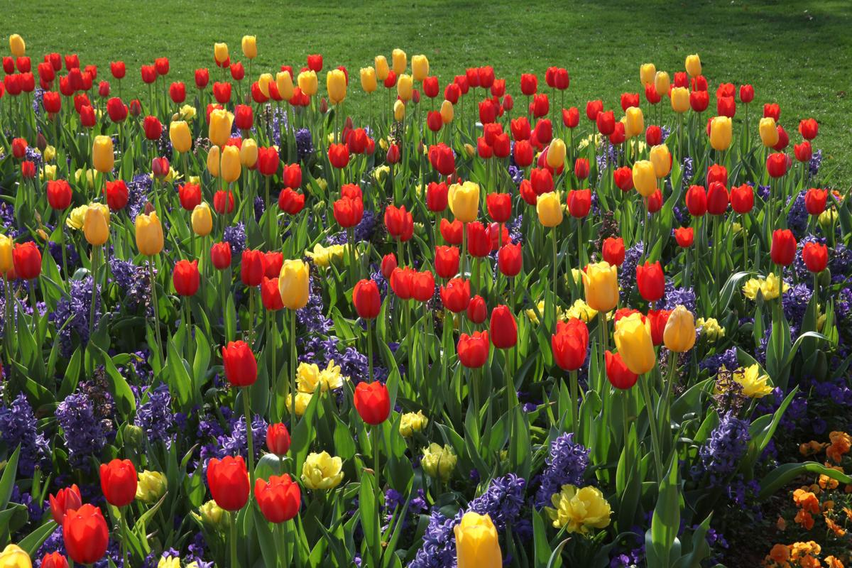 foto de Flower power: Dallas area offers picturesque spots for tulip ...