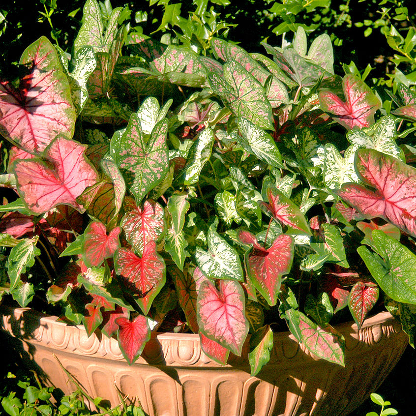 Caladiums given just a bit too much nitrogen