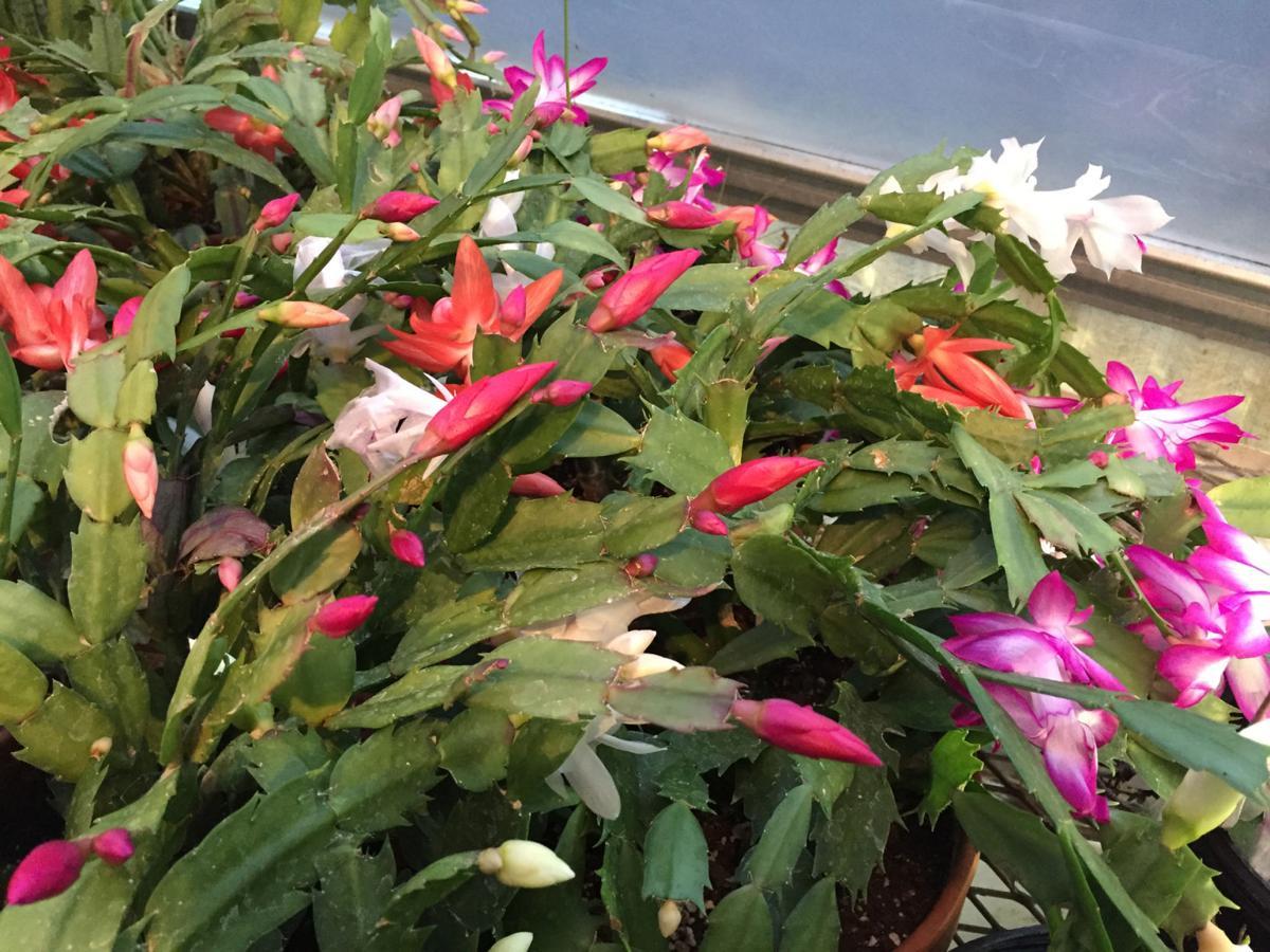 1.06.20 Christmas cactus.jpg