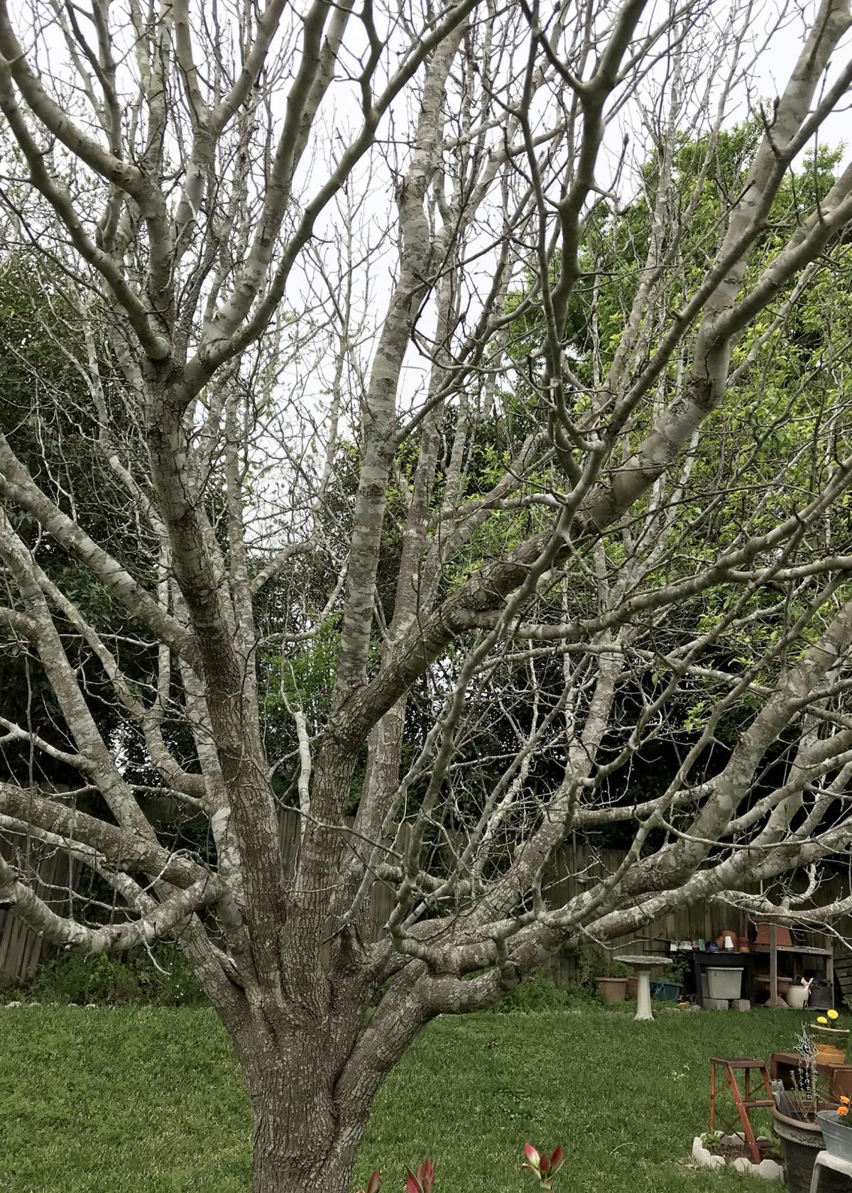 Sperry Pear Weeping Willow Have Short Lifespan Play News