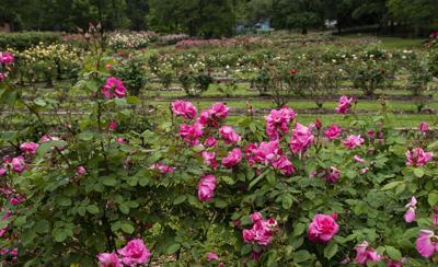 04212020_tmt_news_rose_garden_Anderson_Bowl_web.jpg