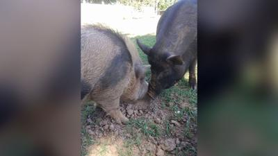 2 therapy pigs, beloved by the community, are found beaten to death