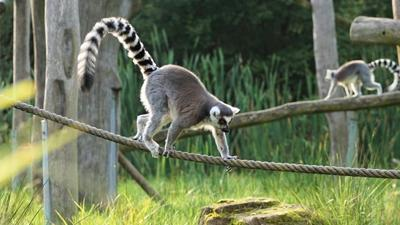 Lemur stolen from zoo turns up at hotel