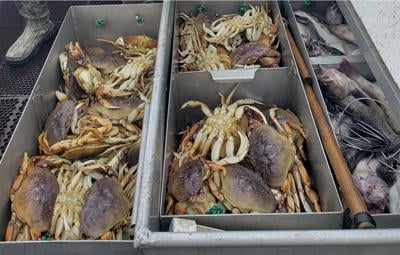 The Pacific Ocean is so acidic that it's dissolving Dungeness crabs' shells