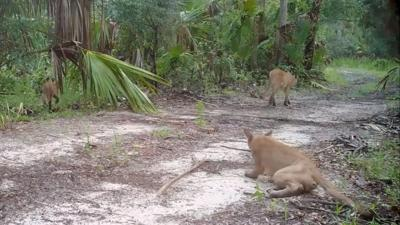 Florida officials investigating why panthers have been stumbling, falling down