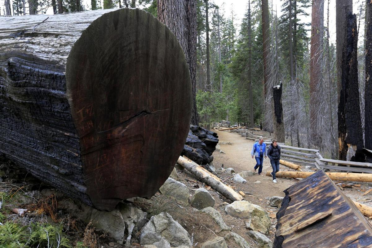 Visitors to the Mariposa Grove walk on trails among the giant trees in California's Yosemite National Park on January 22, 2015.