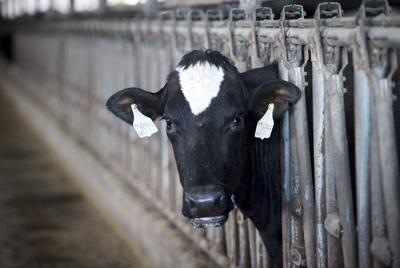 Cow file photo