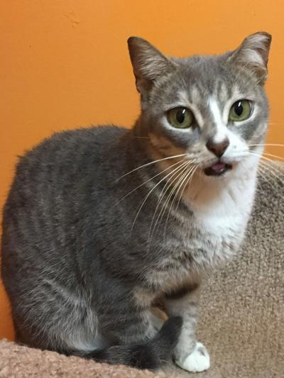 Nelson County Cat of the Week: Peddy