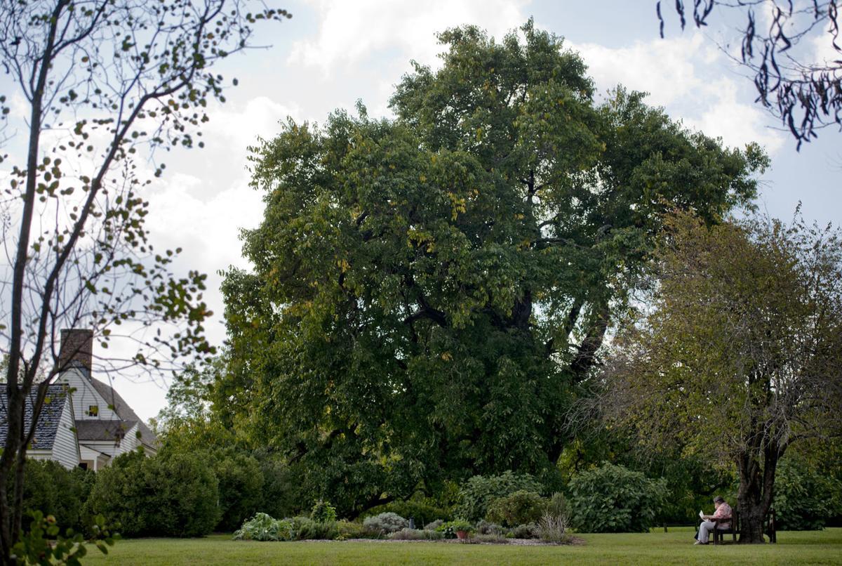 Osage orange tree 2