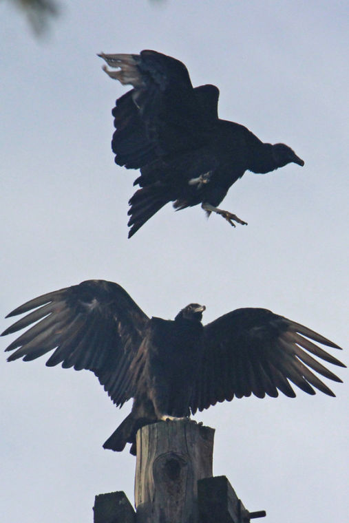 Vultures and crows: Nature's cleaning crew | From the