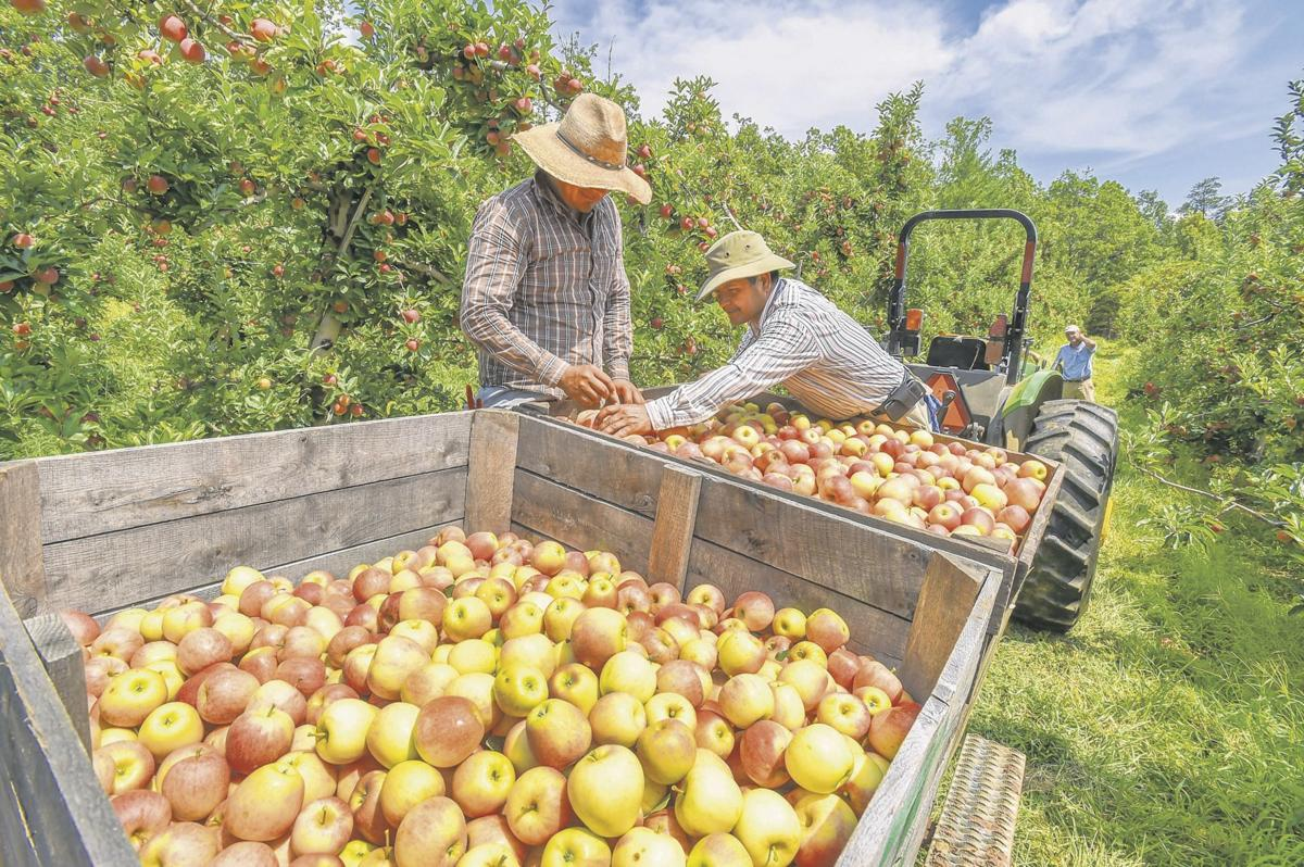 Apple pickers at Saunders Brothers Orchards