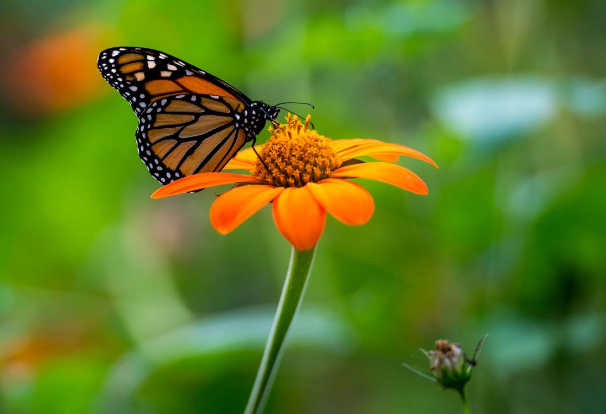 the lonely flight of the monarch butterfly nelson news
