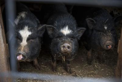 After fire kills 20 animals, Amherst County sanctuary begins rebuilding