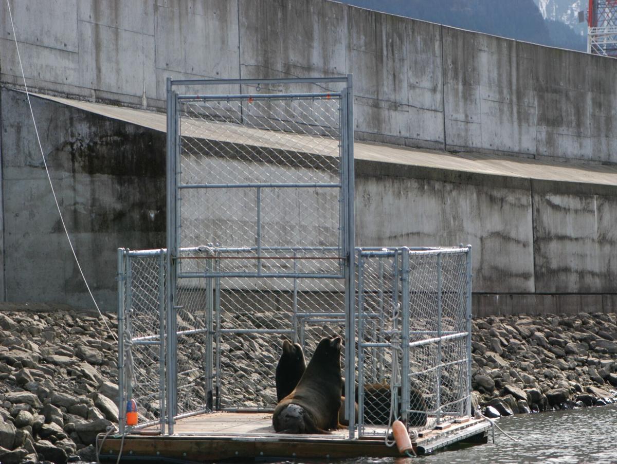 California sea lions trapped