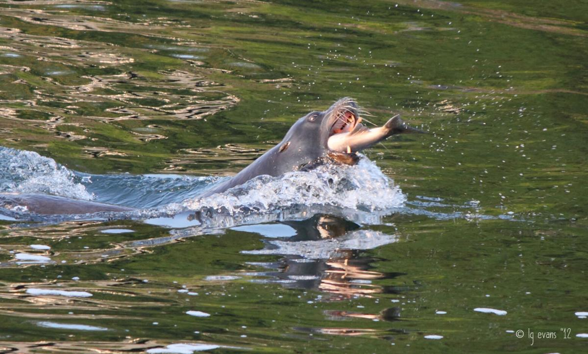 Sea Lion With Salmon