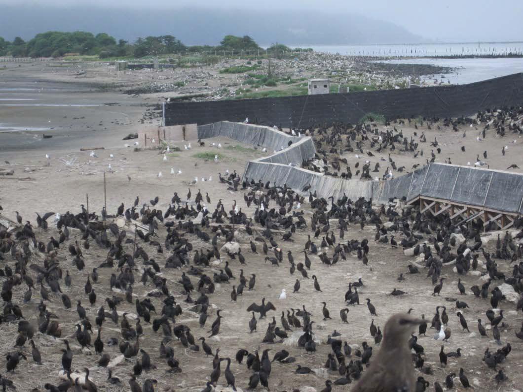 Double-crested cormorants on East Sand Island
