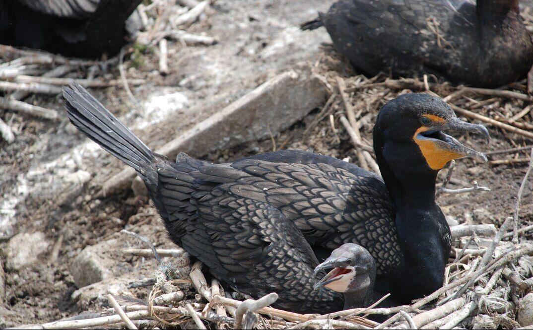 Double-crested cormorant adult with chick
