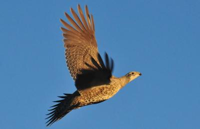 Sage Grouse Flying