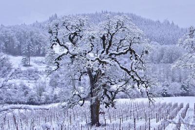 Frozen Oregon Tree