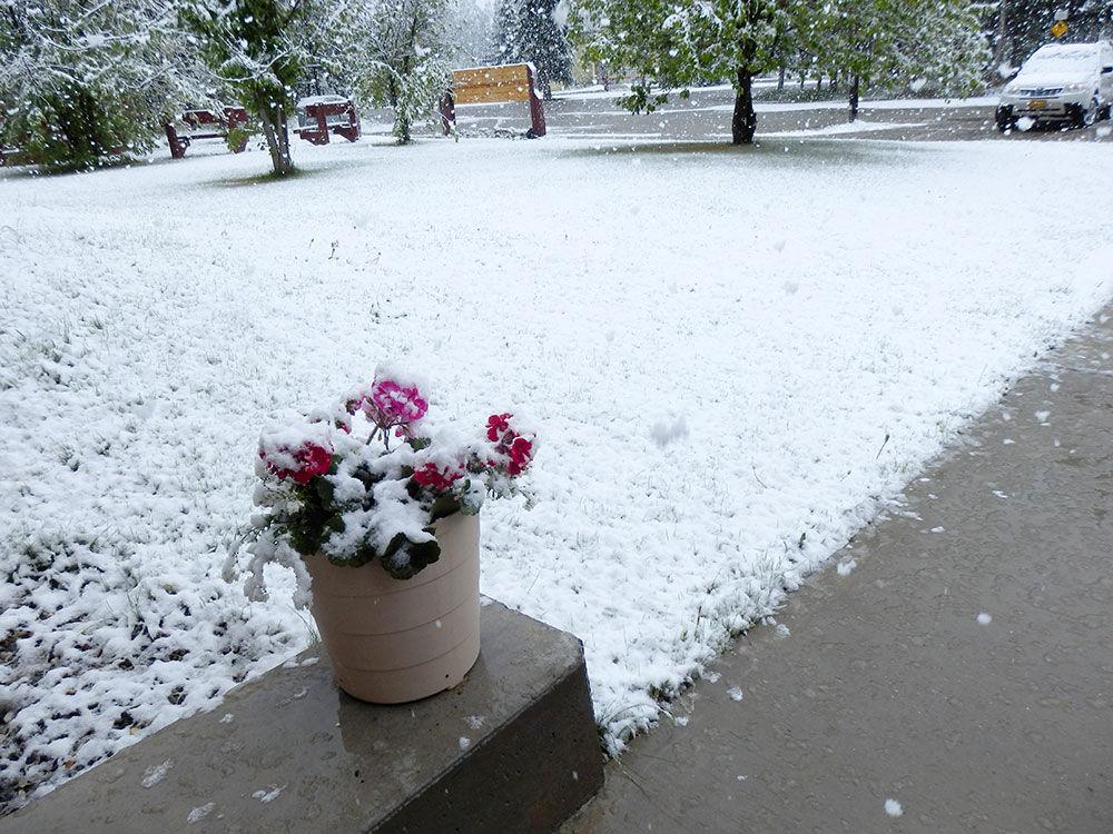 Snow falling on geraniums