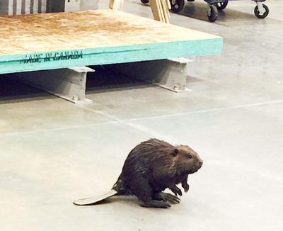 Beaver at Lowe's in Fairbanks
