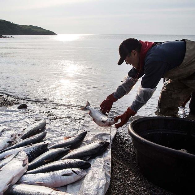 Salmon have shrunk so much that retailers are changing their guidelines