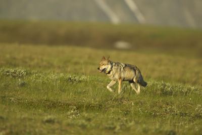 Wolf Denali Park