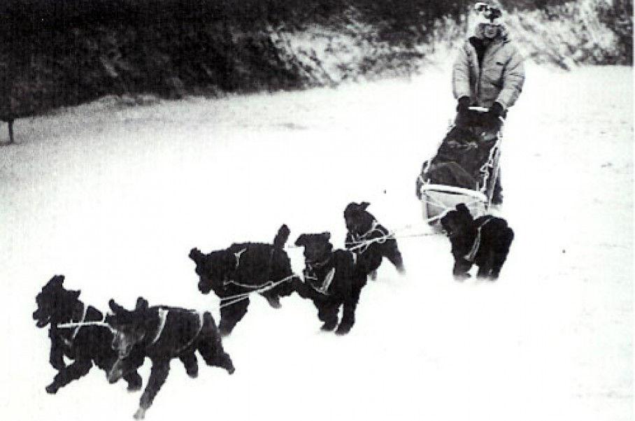 Iditarod poodles