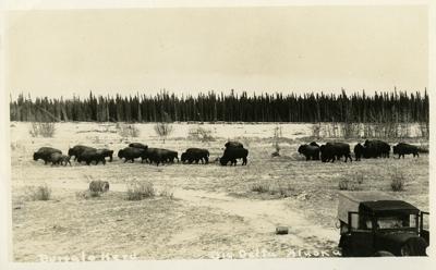Delta Bison Herd