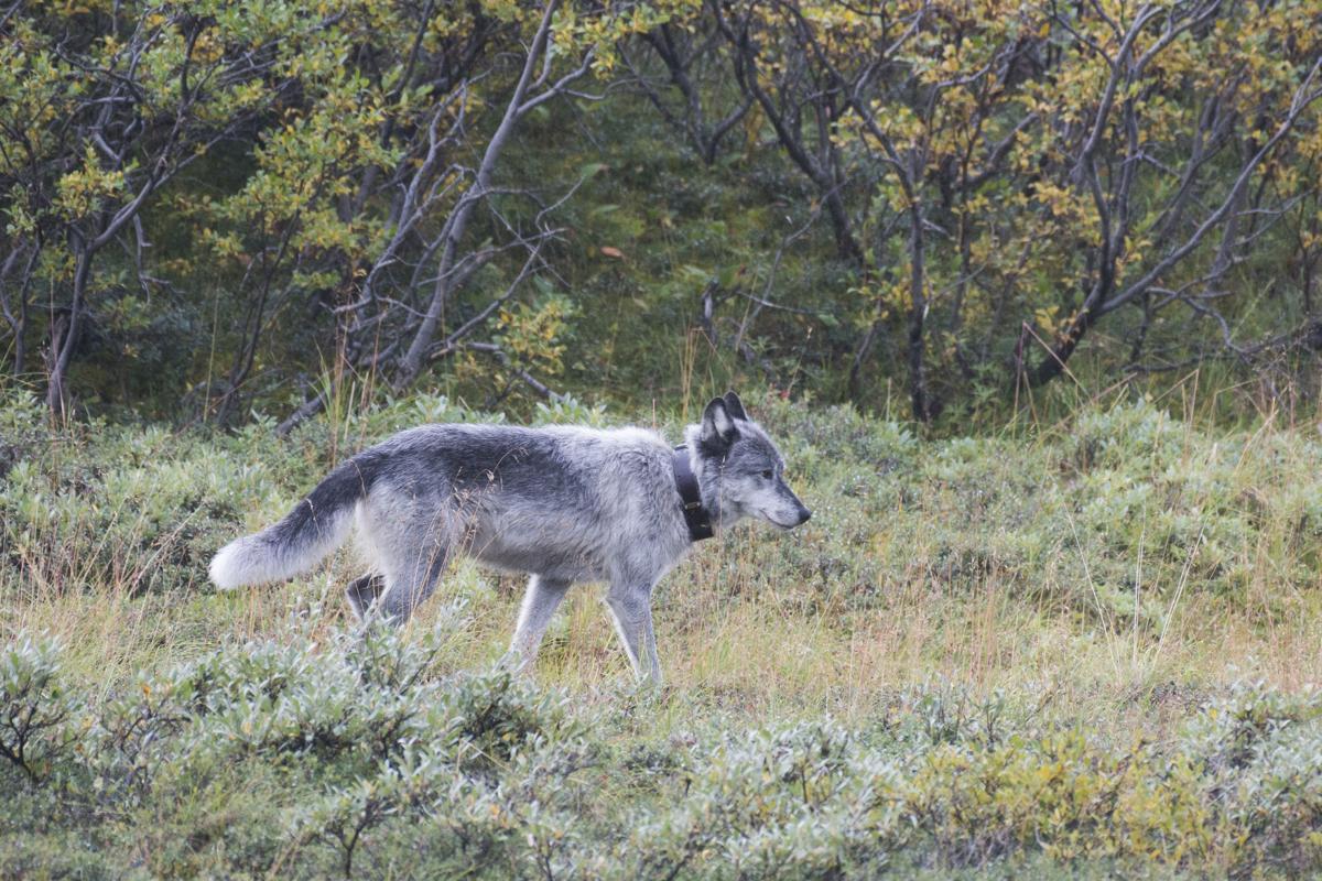 NPS wolf
