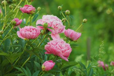 Peonies at Georgeson