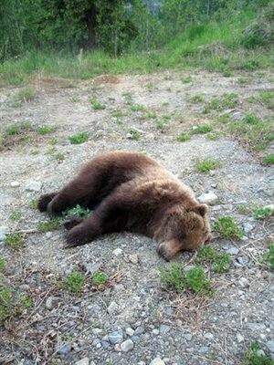Eagle River Man Shoots Grizzly Near Home Alaska News Newsminercom