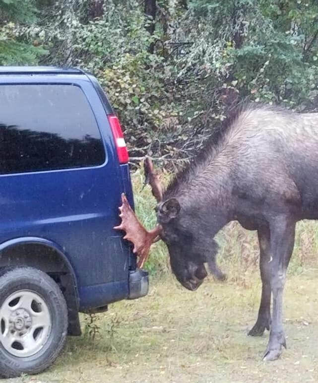 Moose versus van
