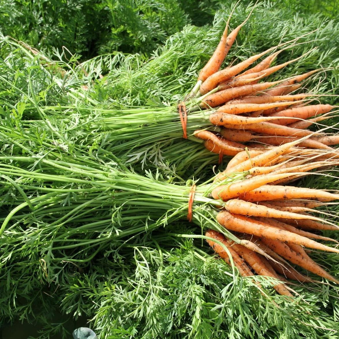 What you need to know for optimal carrot gardening