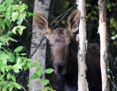 As calving season gets into full swing, so does the food source for predators