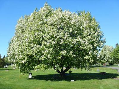 Chokecherry Tree