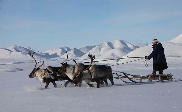 researcher eyes reindeer as a means of travel in alaska alaska