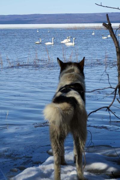 Swan alert