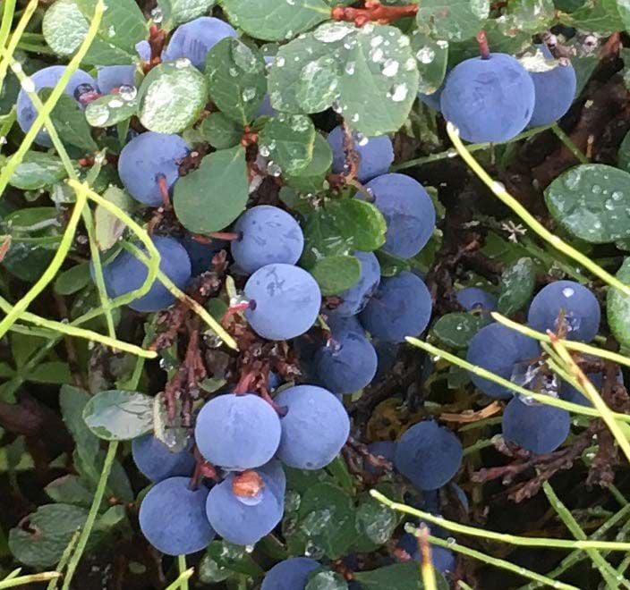 Ace Auto Sales >> The berry best: An Alaska blueberry primer | Gardening ...